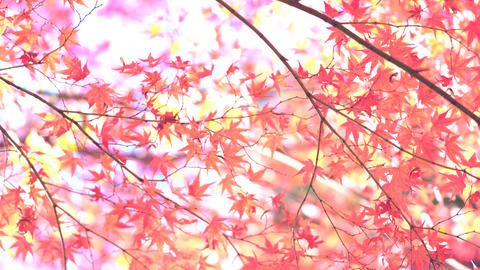 4K A maple illuminated by the light of the sun〔light〕 Stock Video Footage