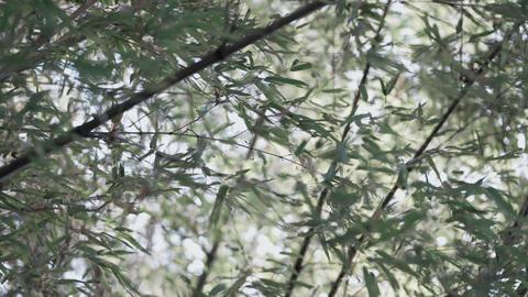 4K 時代を感じさせる竹林 〔無料〕 ライブ動画