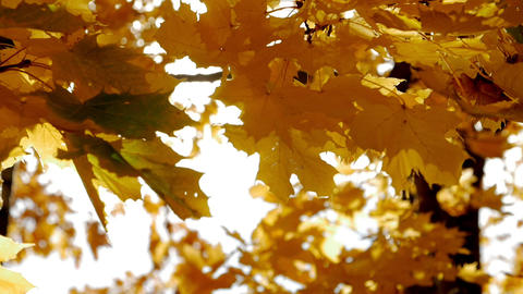 Autumn leaves. Autumn. Close-Up Leaves. Yellow leaves and sunlight Live Action