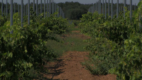 Grape vines in mid-day sun Stock Video Footage