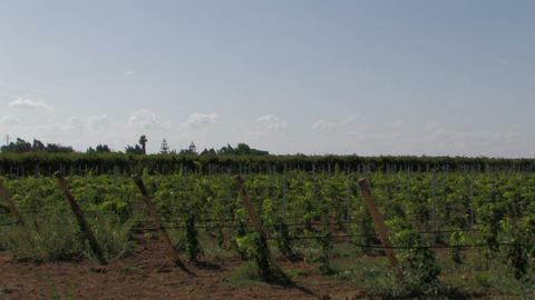 Panoramic of rows of grape vines Stock Video Footage