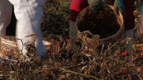 Hands filling buckets of tomatoes Stock Video Footage