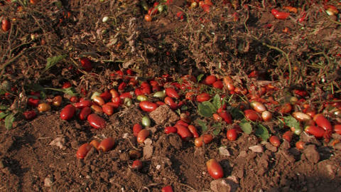 Tomatoes Left Over After Harvest stock footage