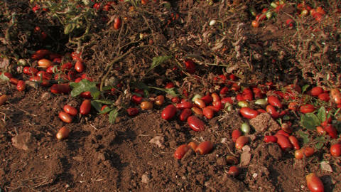 Tomatoes left over after harvest Stock Video Footage