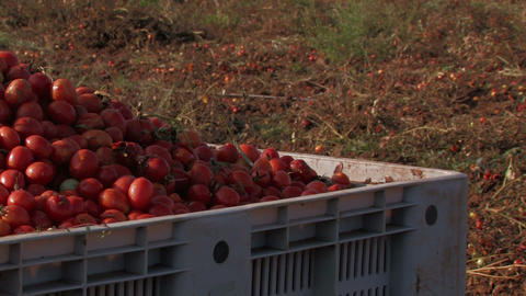 Bright red tomatoes at harvest Stock Video Footage