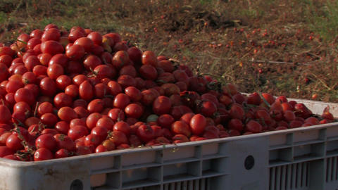 Bright red tomatoes at harvest Footage