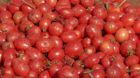 Freshly picked tomatoes Stock Video Footage