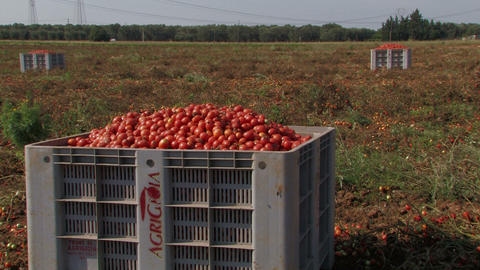 Large Crates Of Tomatoes stock footage