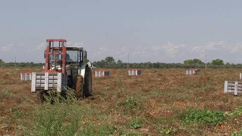 Tractor moving crates of tomatoes Footage