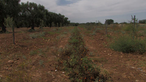 Row of cherry tomatoes beside olive tree orchard Stock Video Footage