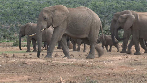 Elephant group Footage