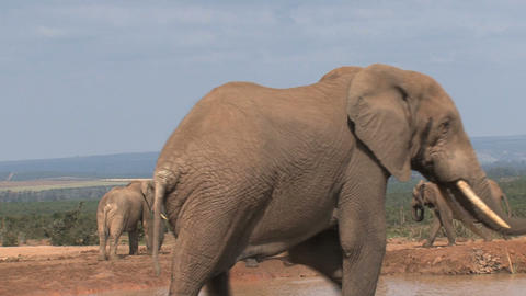 Big male elephant Footage