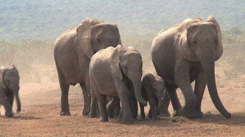 Herd of young and old Elephants Footage