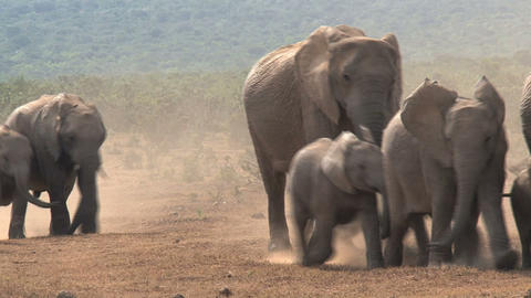 Herd of young and old Elephants Stock Video Footage