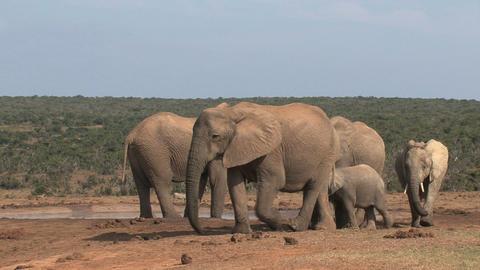 Group elephant family Footage