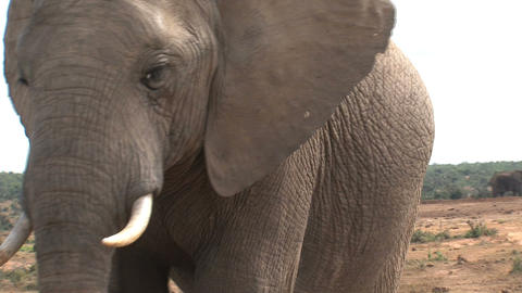 Close up from big elephant Footage