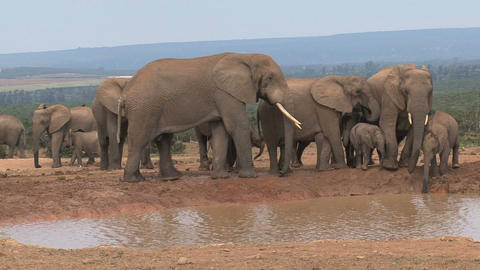 Group Elephants Famlily stock footage