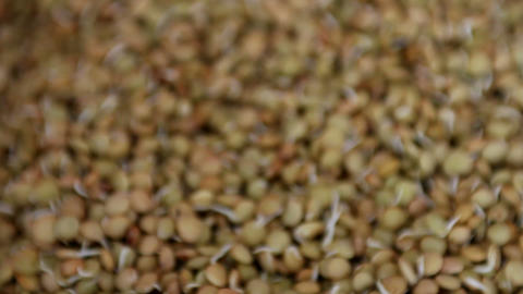 Lentil sprouts Stock Video Footage