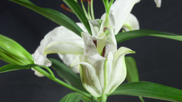 White lilies Stock Video Footage