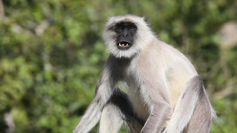 Gray langur Live Action