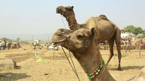 Camel Fair stock footage