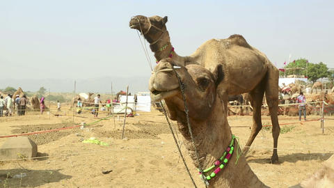 Camel Fair Stock Video Footage