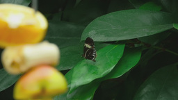 Tropical butterfly on a leaf Footage
