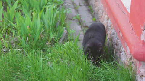 Black Scottish fold cat Live Action