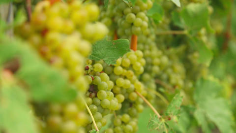 White Grapes Bunches stock footage