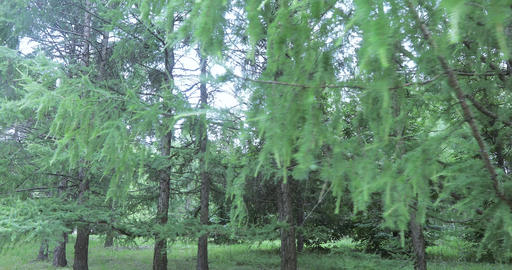 Fluffy firs in the park Stock Video Footage