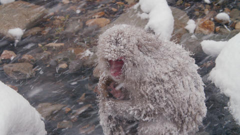 SnowMonkey - Mother protecting child on heavy snowday Archivo
