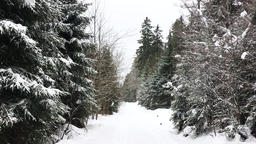 Snow Covered Pine Forest and Nature Trail Footage