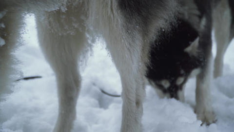 Pair of siberian huskies with wonderful eyes digging their snouts in the snow in Live Action