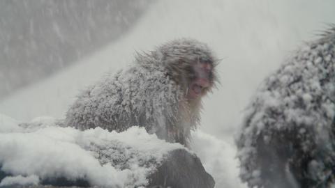 SnowMonkey - Intimidating monkey - sound include Footage