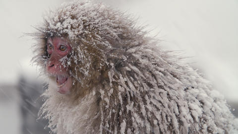 SnowMonkey - Intimidating monkey - sound include GIF