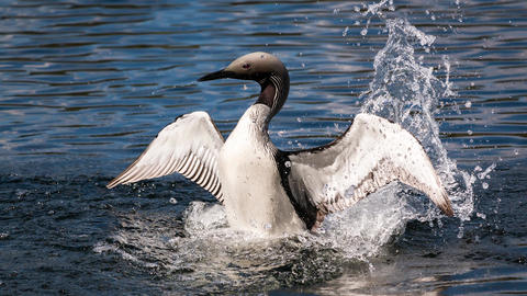 Black-throated loon splashing water cinemagraph Footage