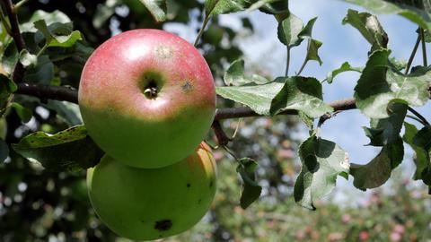 Red juicy apple on the tree 영상물