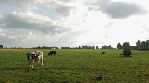 Farm cattle grazing in field GIF