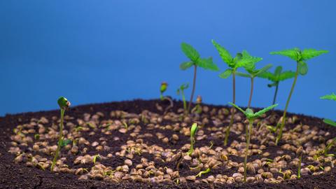 Marijuana Plant Growing Archivo