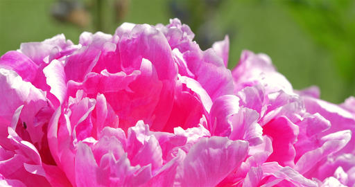 Pink Peony (Paeonia) Flower Close Up Footage