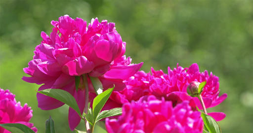 Pink Peony (Paeonia) Flower Close Up Footage