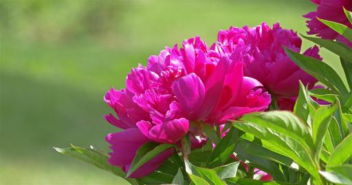 Pink Peony (Paeonia) Flower Close Up stock footage