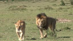 A lion couple walking through the plains Footage