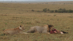 A male lion eats while the female watches Footage