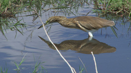 A perfect reflection of a heron Footage