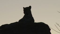 A silhouette of a leopard sitting on the rock Footage