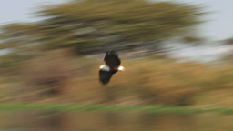 A slow motion of a fish eagle catching a fish Footage