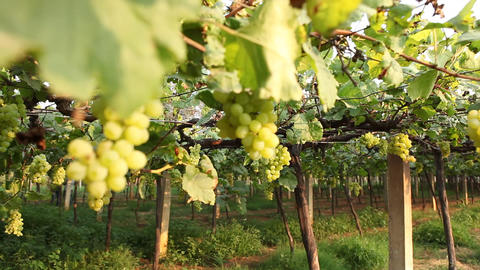 Grape Garden in India Footage