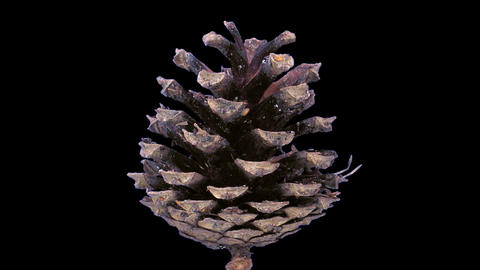 Time-lapse of opening pine cone with ALPHA channel Footage