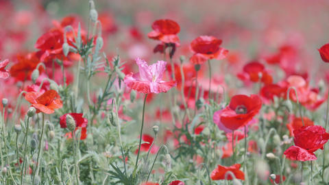 Shirley Poppy Flowers,at Showa Memorial Park,Tokyo,Japan,Filmed in 4K Footage